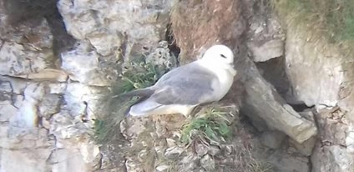 This was the only picture of a Northern Fulmar that I could get. If you do visit Bempton you'll find yourself taking more Puffin pictures than you need.