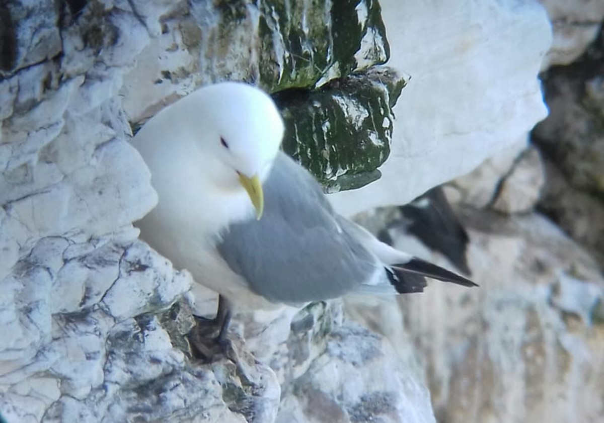 It never ceases to amaze me how birds such as this Black-legged kittiwake are able to cling to the smallest cliff edge.