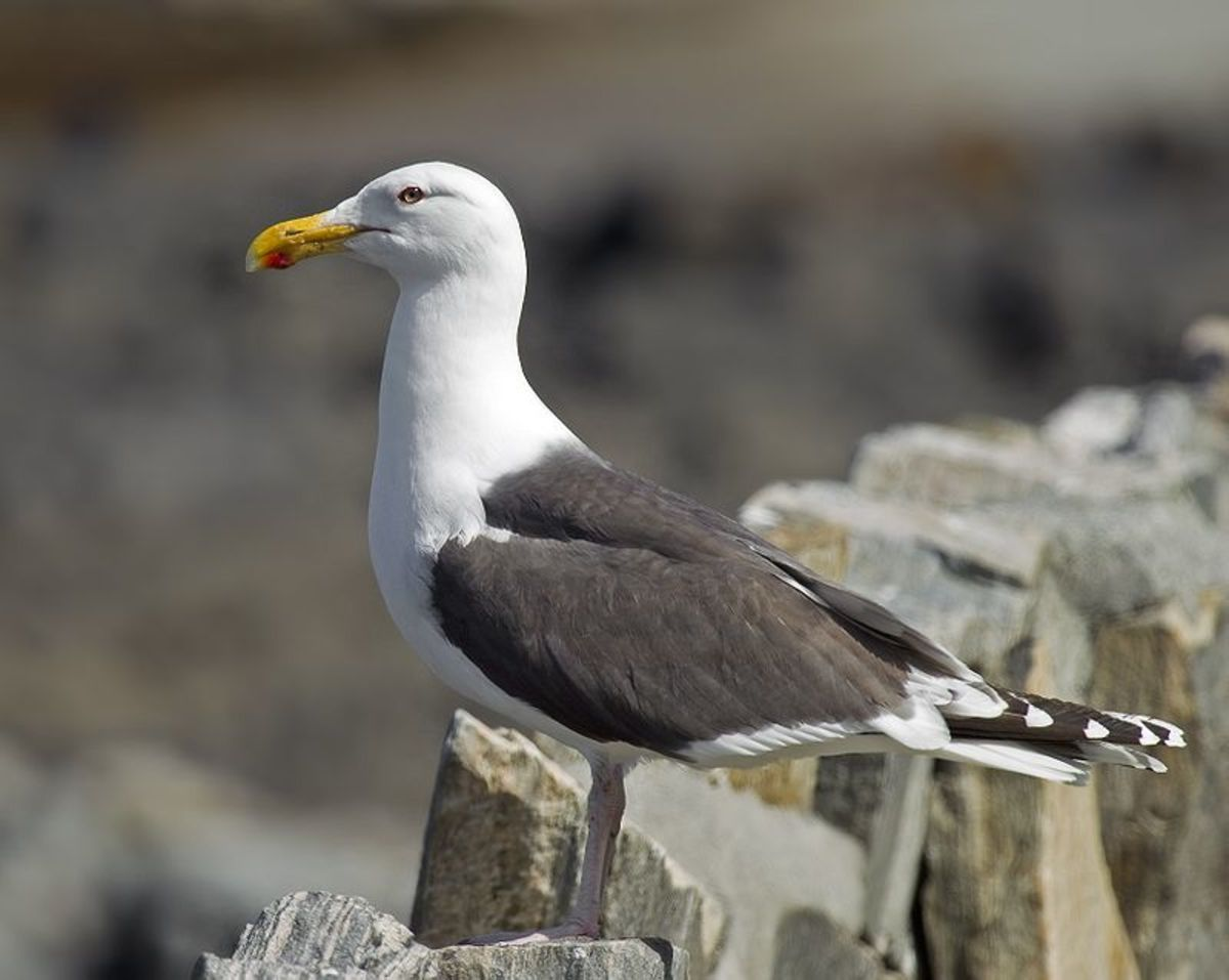 Likewise, I've yet to capture a Great Black-backed Gull. They are truly enormous birds, approaching goose proportions in terms of size and wingspan.