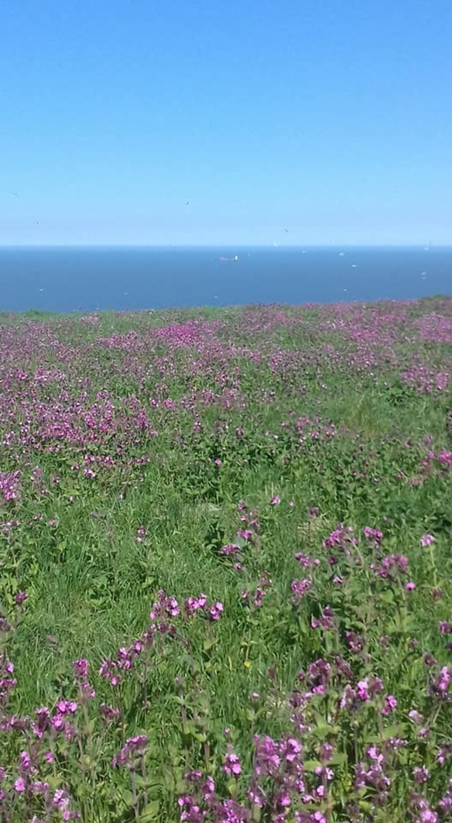 In May, the clifftops are awash with a splendid carpet of Red Campion flowers.