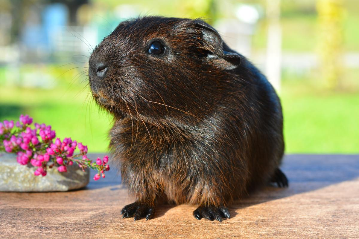 100 Cute and Thoughtful Guinea Pig Names