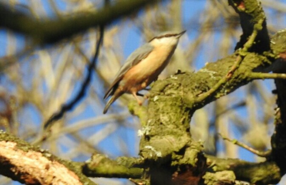 A photo of an Eurasian Nuthatch high up in the canopy of the Old Forest.