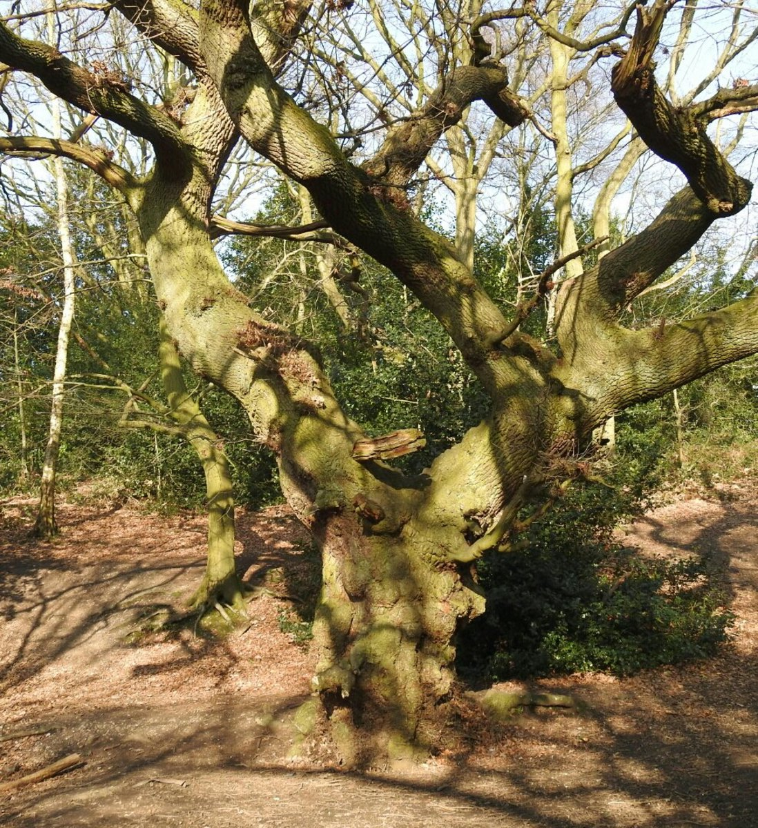 A photograph of a 300 year old Oak deep within Moseley Bog.