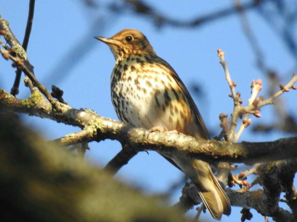 This Song Thrush was one of many individuals that sang loudly in the forest.