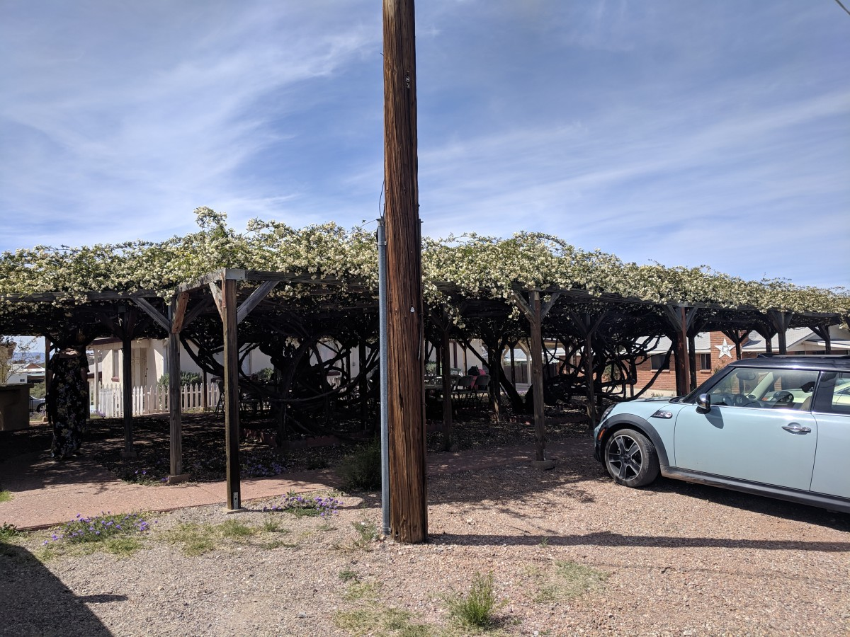 Rose Bush Arbor providing shade to those visiting Sacred Heart Catholic Church - Buses are from cuttings taken form Mary Gee's Giant Rose Bush (possibly from some of the original cuttings sent to Mary from Scotland)