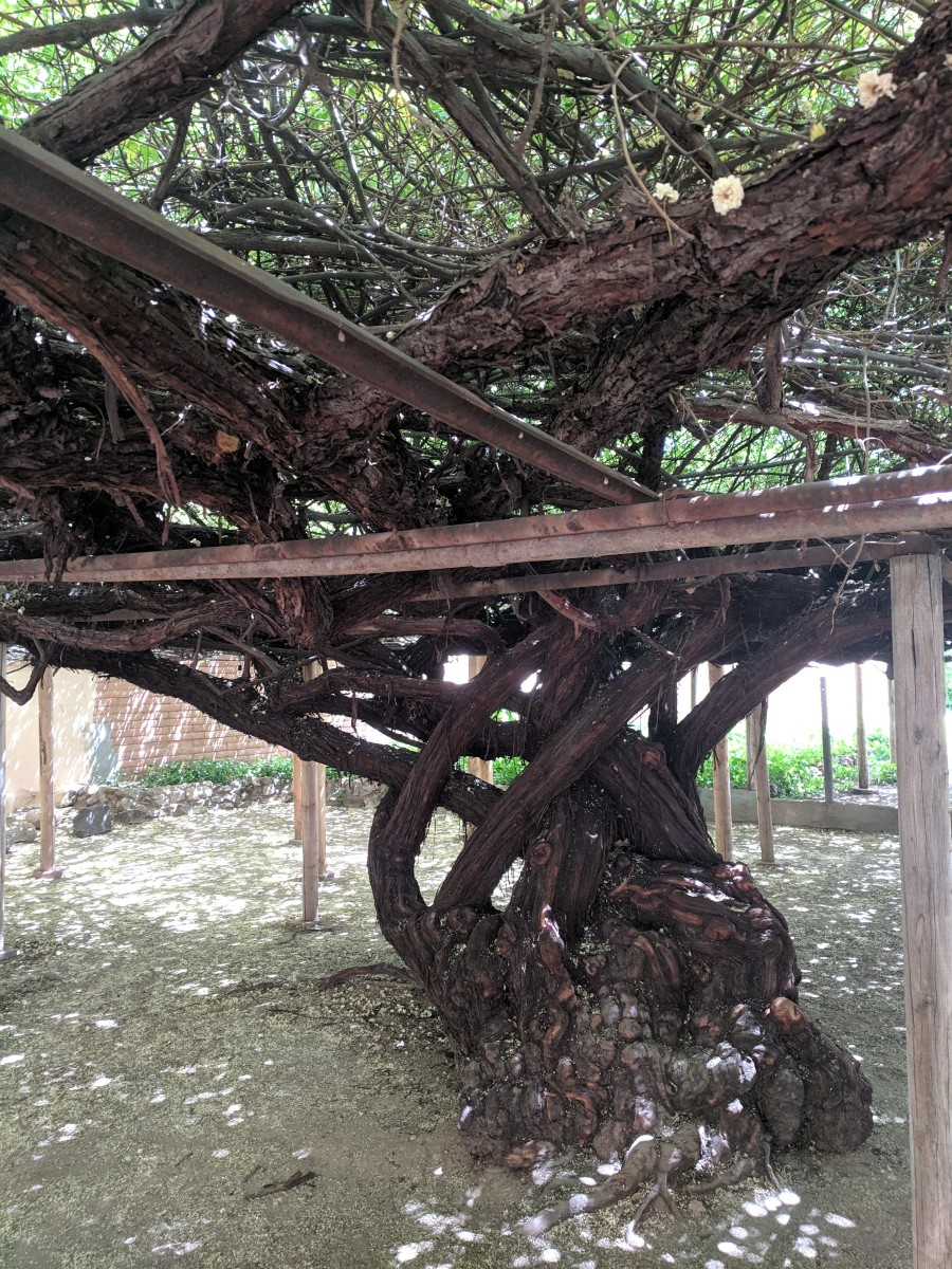 The massive trunk that supports the Lady Bakasia's sprawling branches covering the trellis