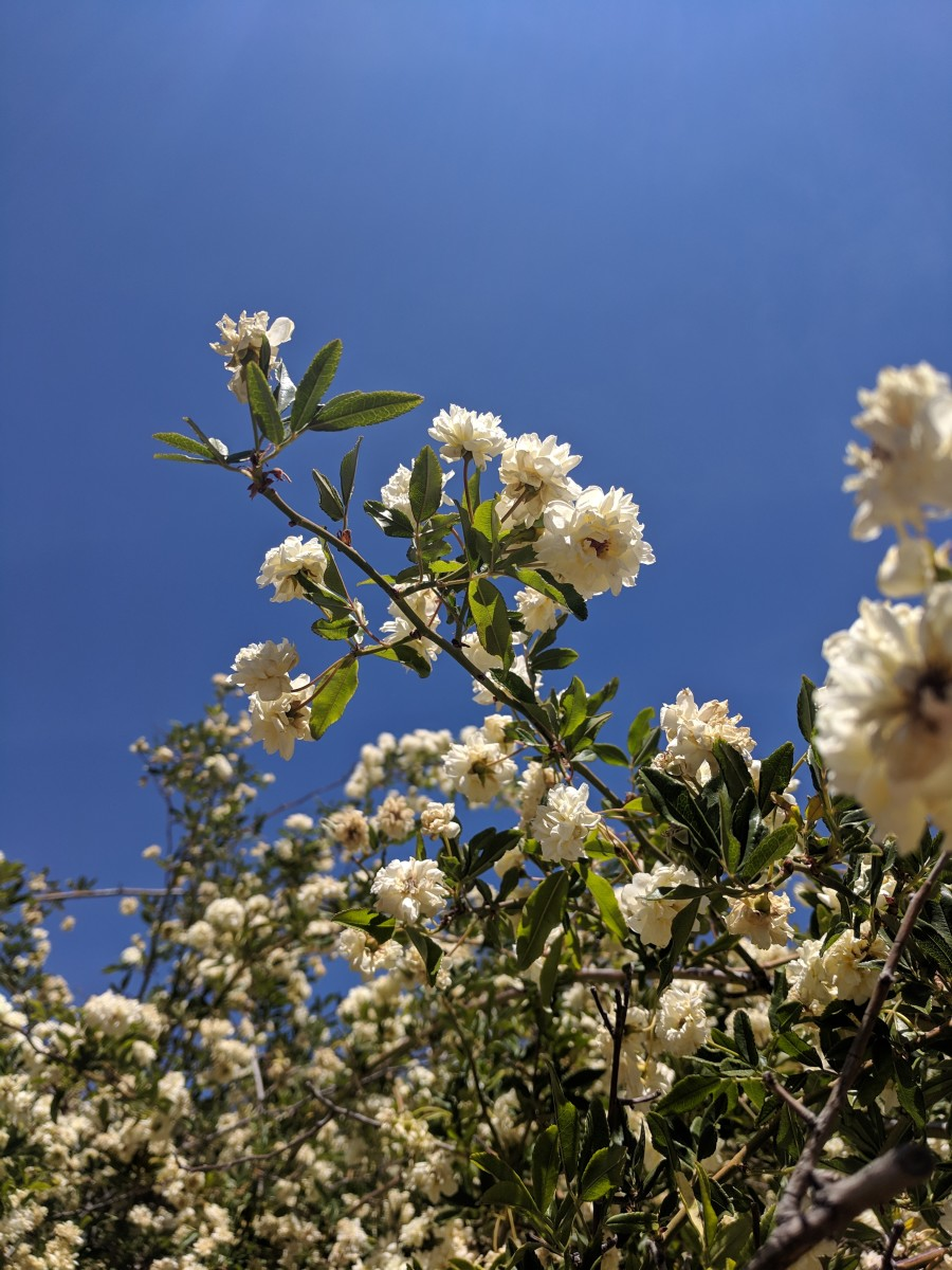 Lady Bakasia Rose Bush in Tombstone, AZ is covered with blooms in spring.