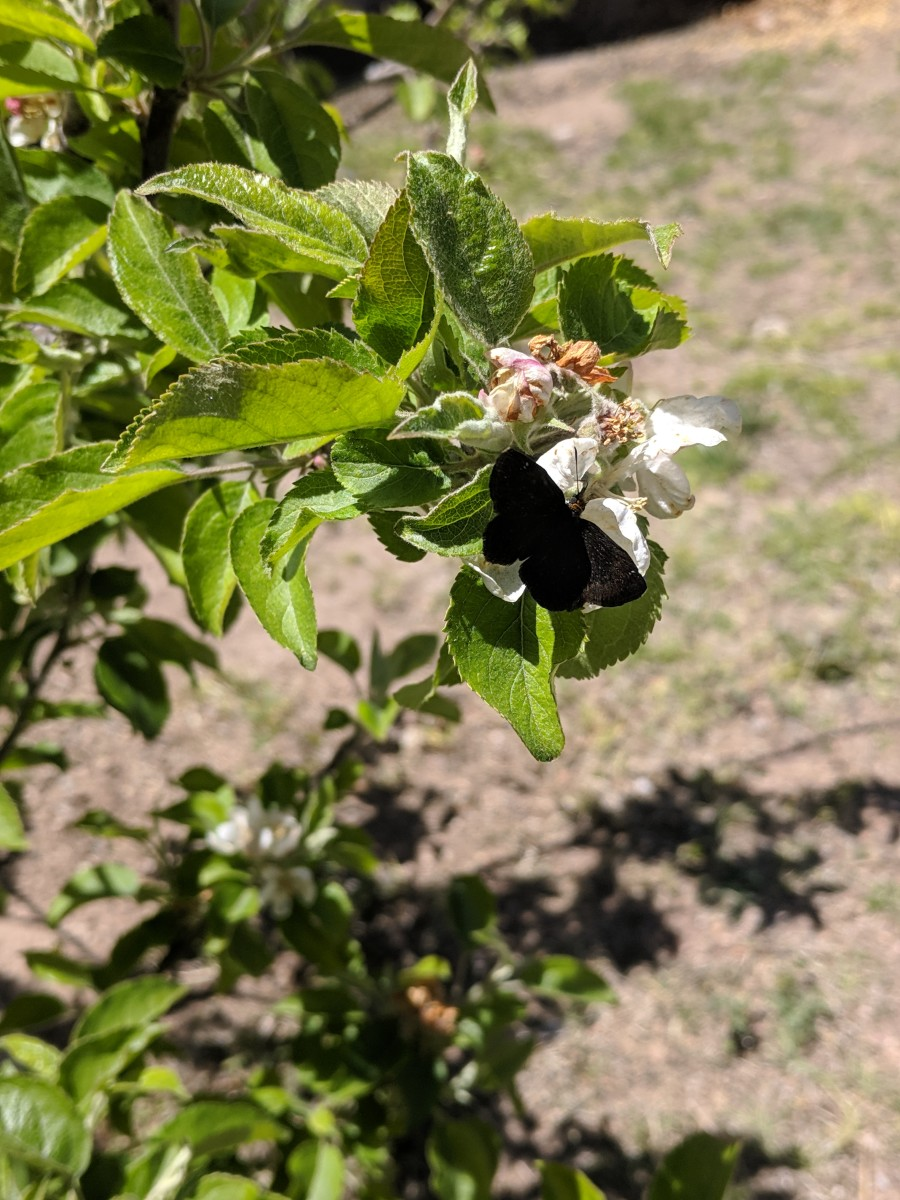 The courtyard where the Lady Bankisa grows also has a pear tre and china berry tree.  This butterfly is enjoying nector from one of the blossoms on the pear tree