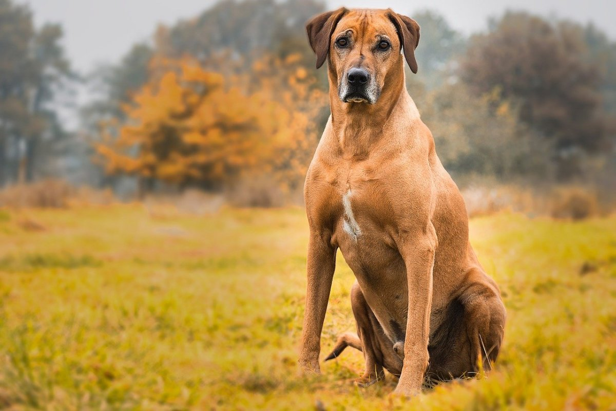 Rhodesian Ridgeback German Shepherd Mix