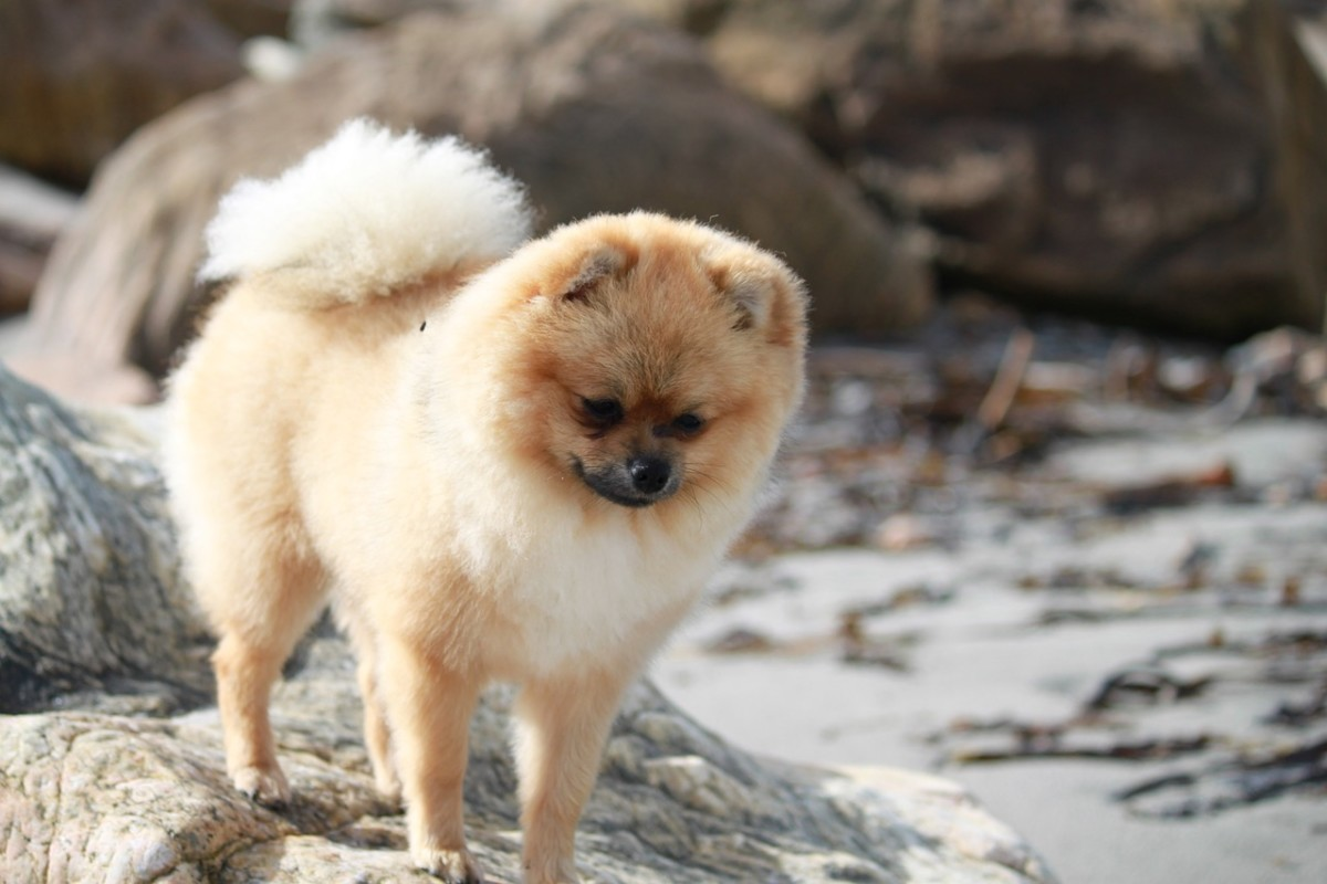Boxer Pomeranian Mix - Learn All About the Pomoxer
