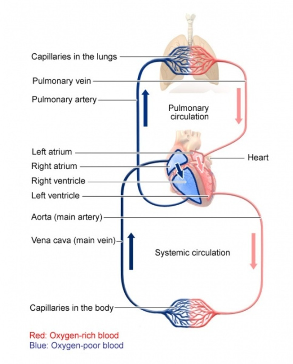 Human Heart and The Circulatory System