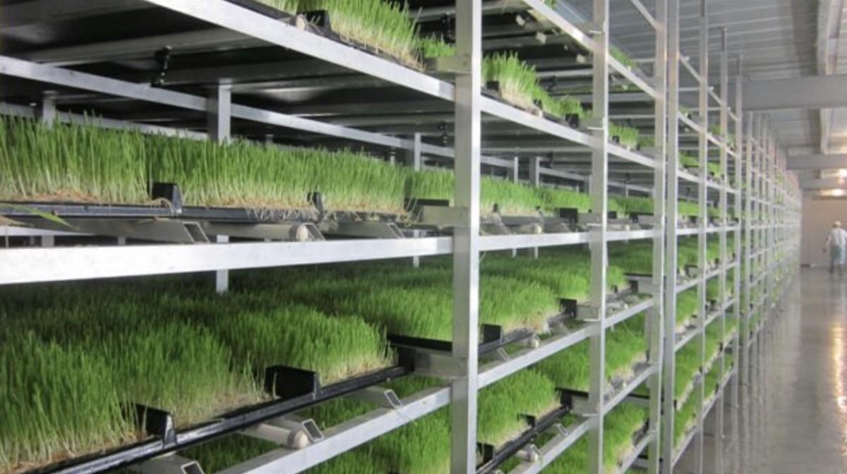 Barley Fodder Sprouts Week 1
