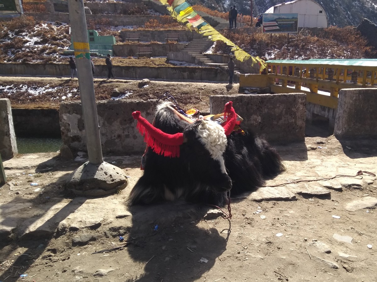 A yak with a woolen horn gear basking in the sun