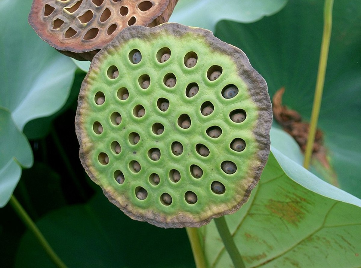 Lotus Flower Receptacle with Seeds