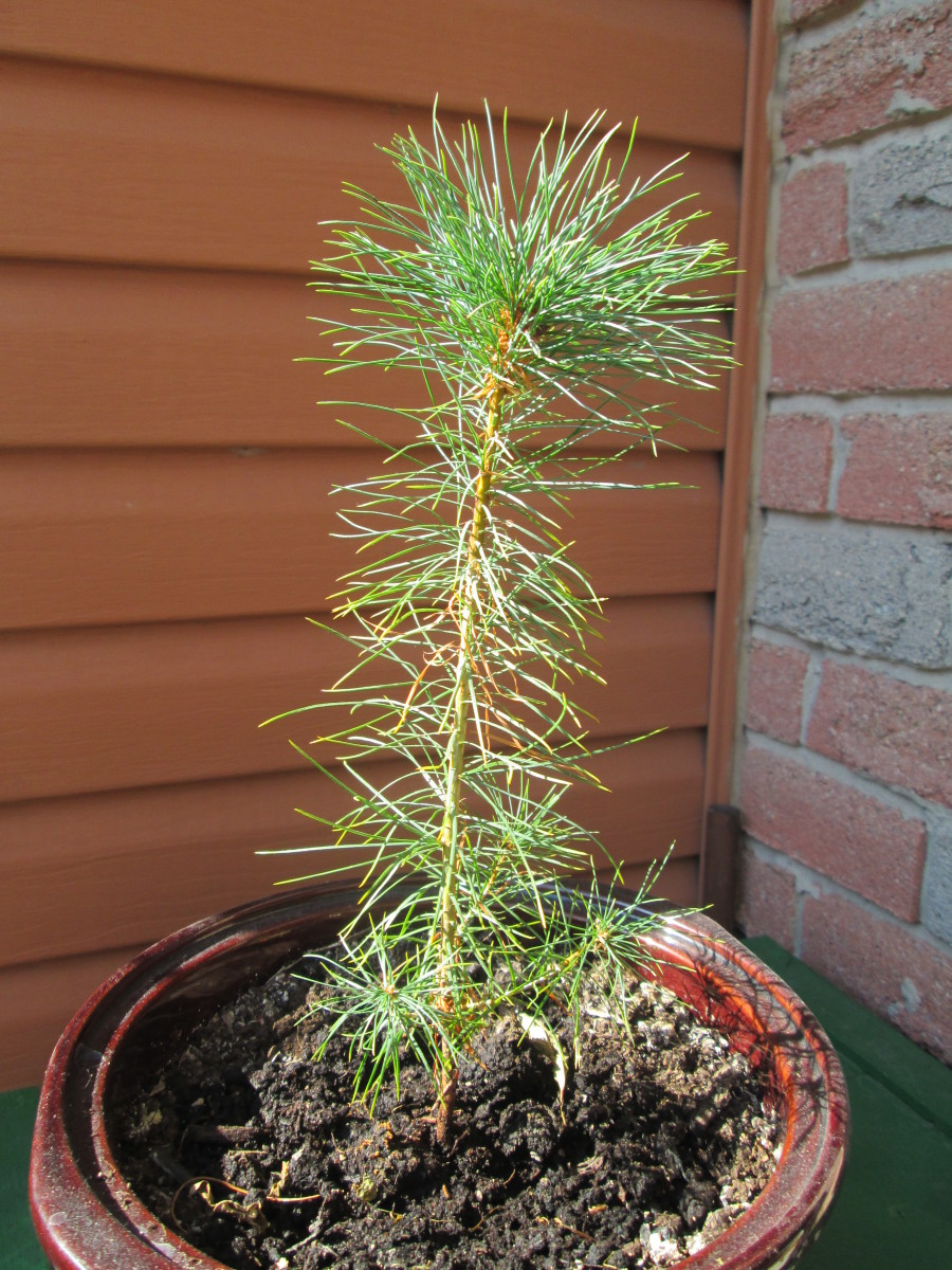 White Pine, roughly one year old. Building the world.