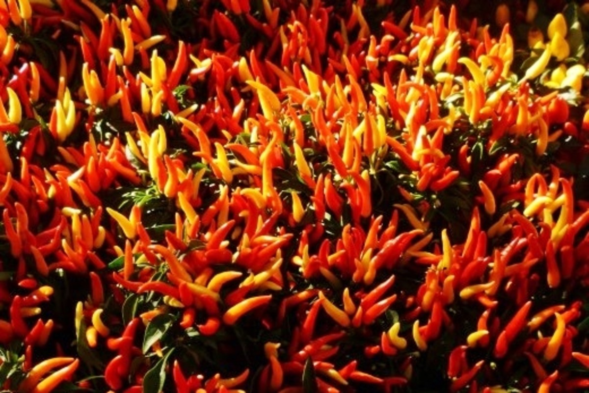 Decorative Hot Pepper Plants
