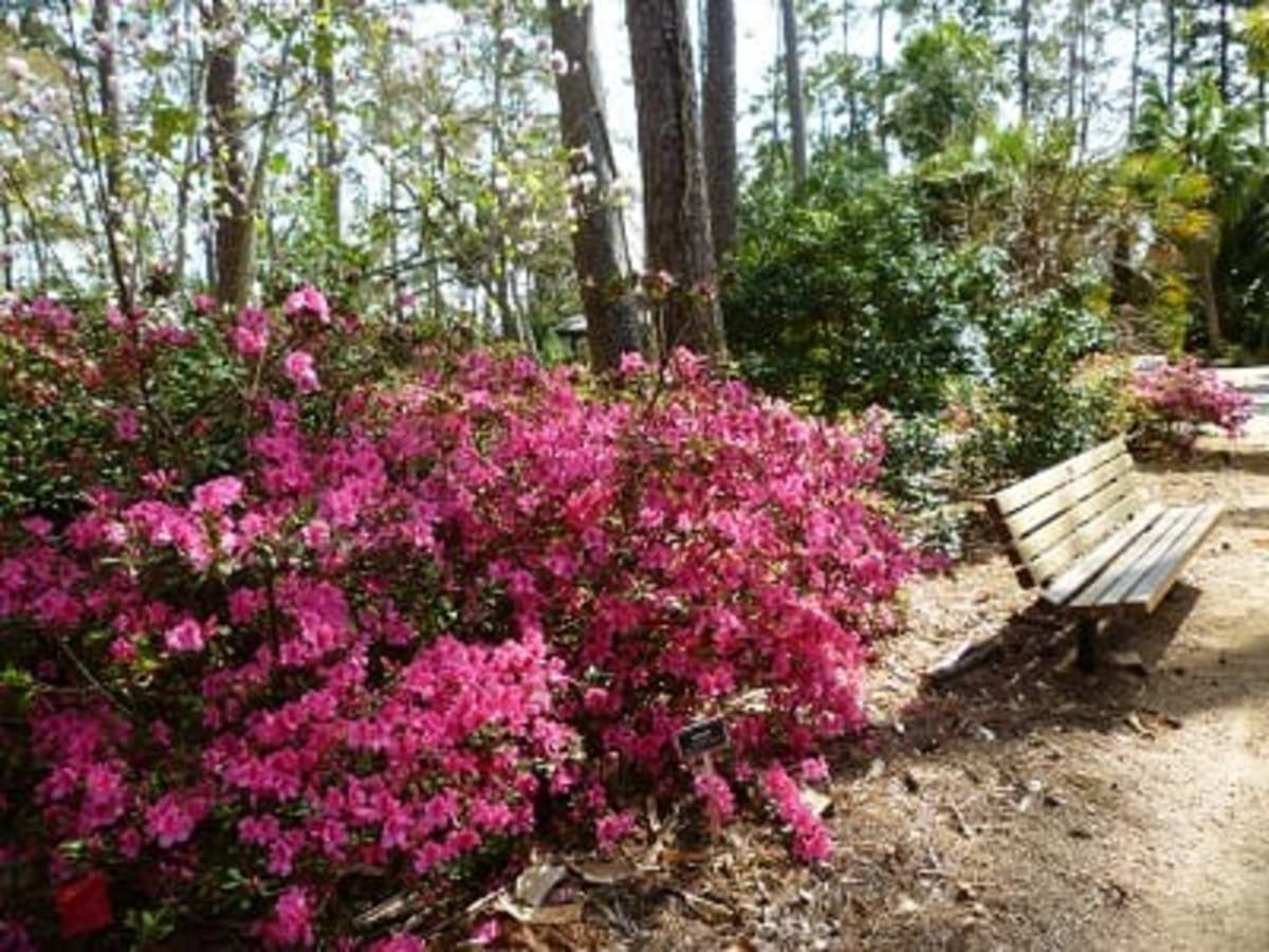 Azaleas in bloom at Mercer Arboretum and Botanic Gardens
