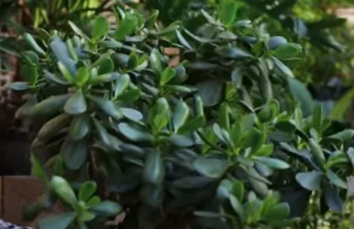 Health And Monetary Benefits Of Jade Plant Crassula Ovata Hubpages