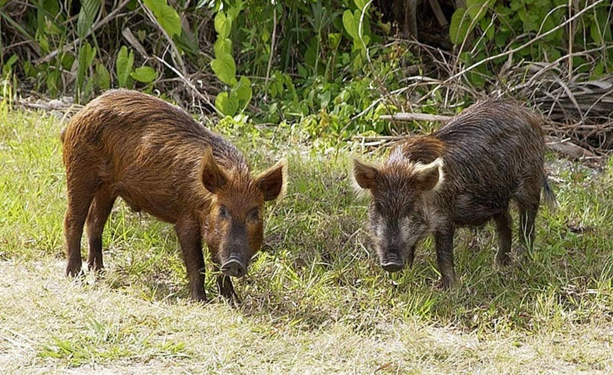 Okefenokee Wild Pigs Susscrofa