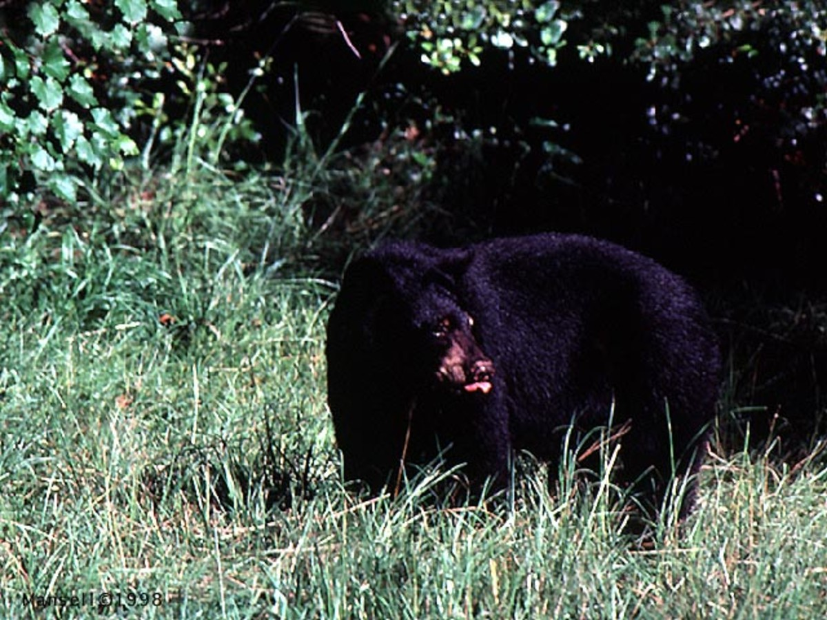 Okefenokee Black Bear Ursus Americanus