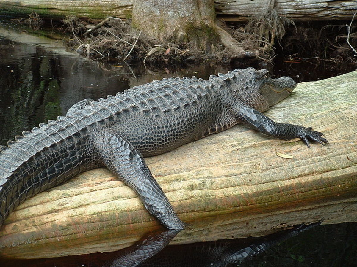 Okeefenokee Alligator