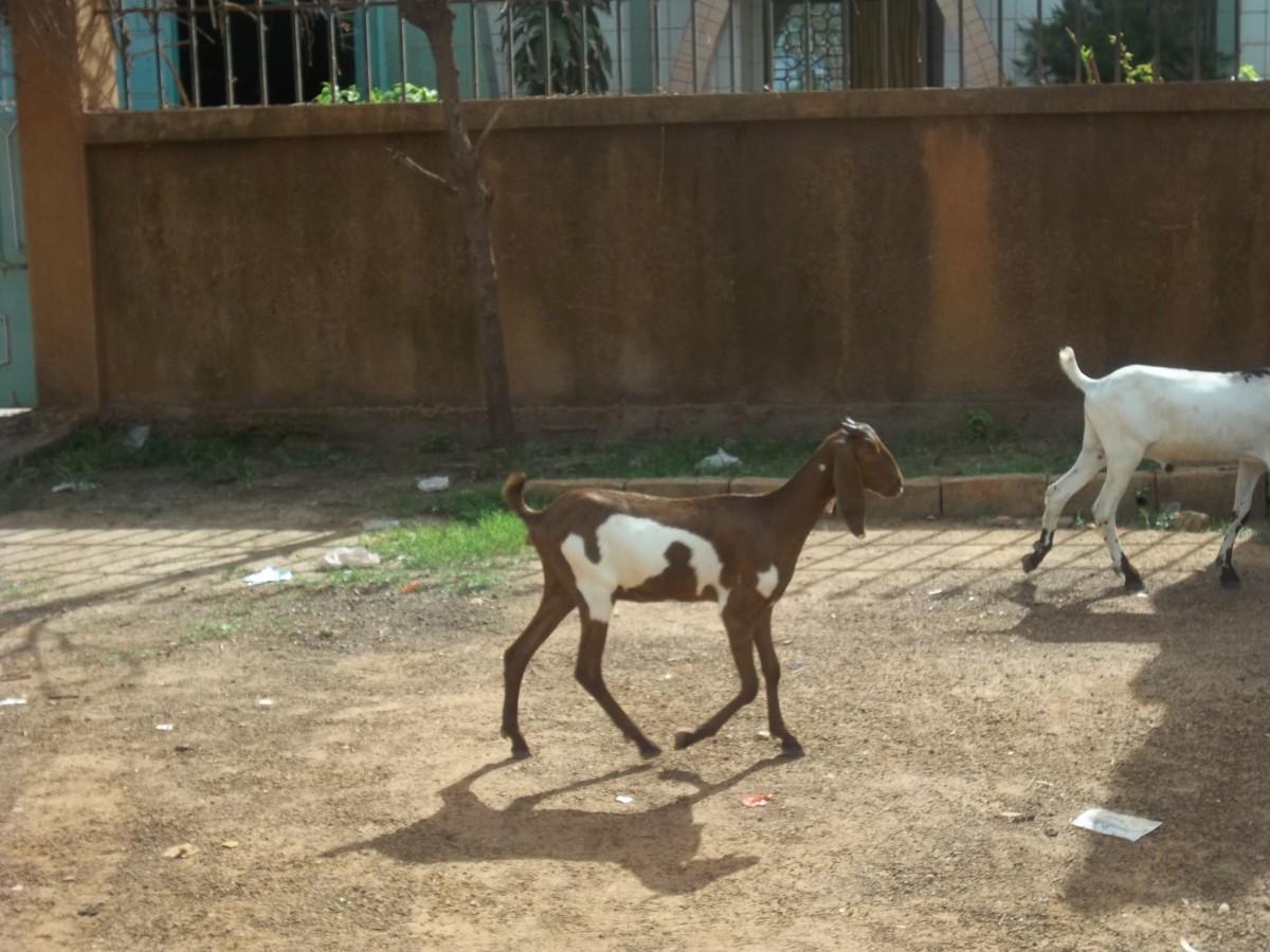 The long eared goats in the suburbs of Ouagadougou
