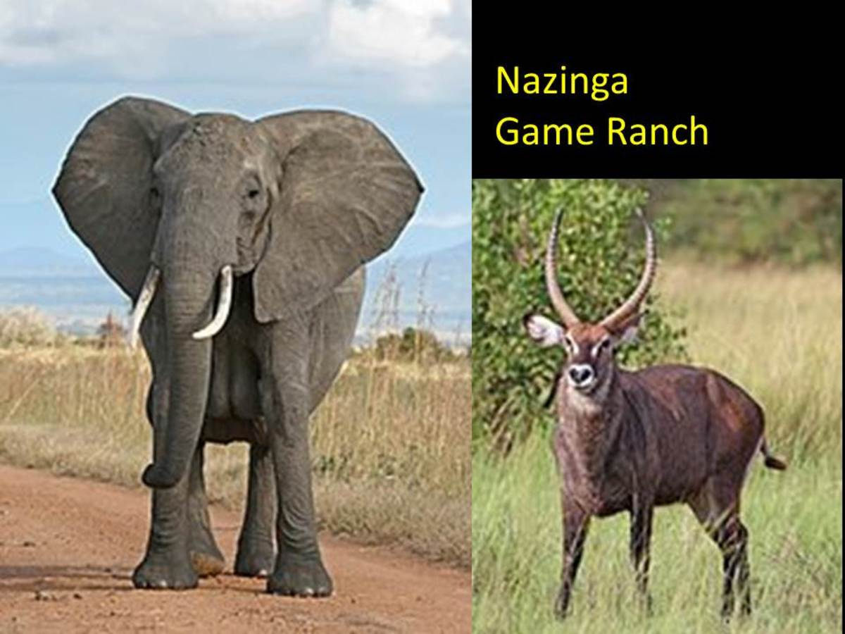 You can see Elephants and Waterbucks besides many other animals at Nazinga