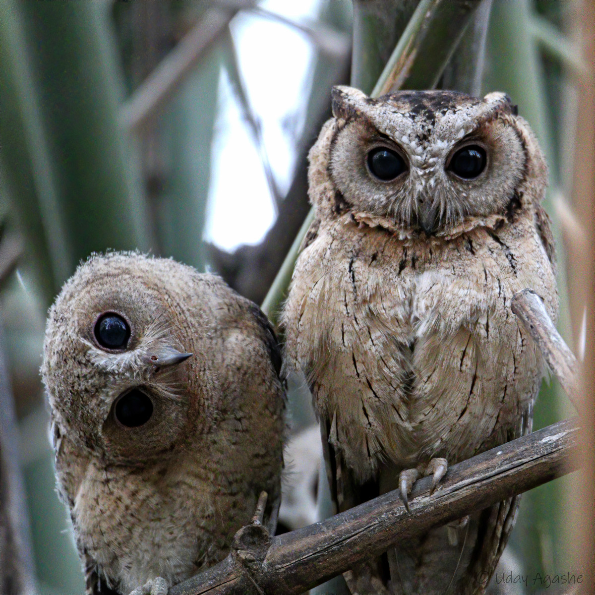 Indian Scops Owl