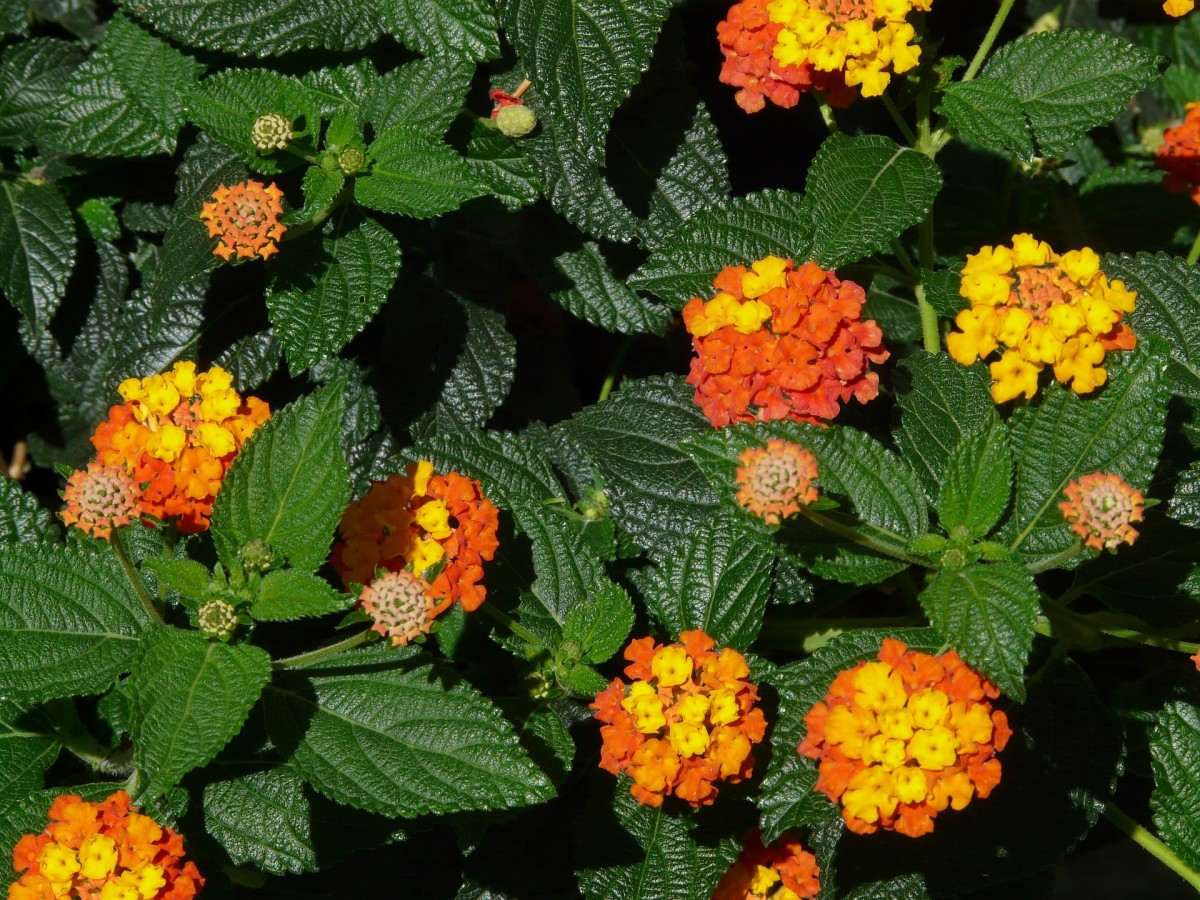 Lantana Camara - An Invasive Alien Species And A Silent Killer