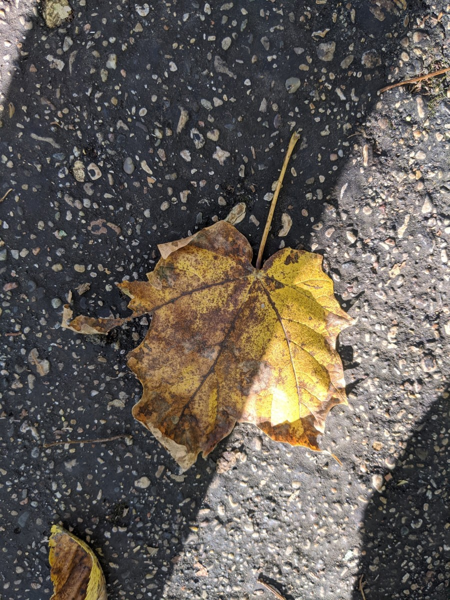 A fallen leaf, gone from green to yellow tones