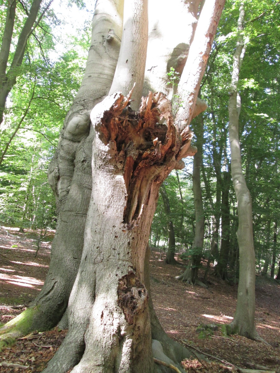 Sometimes a minor trunk grafted onto a major one feels the weight of gravity, leaving great 'wrench' marks.
