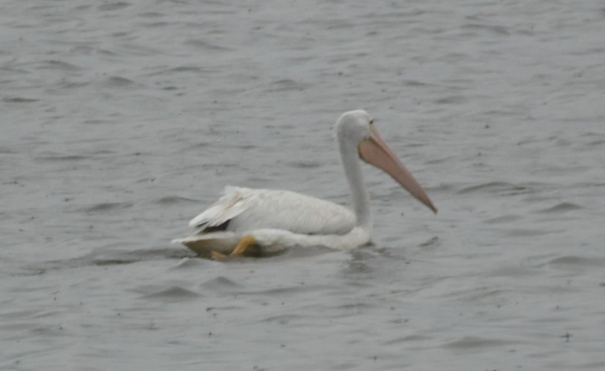 Bird swimming in the lake.