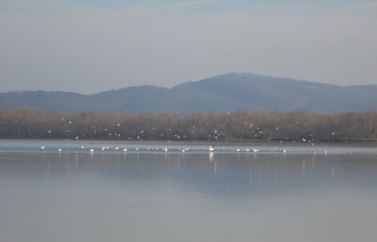 Birds gathering to feed on Weiss Lake in winter.