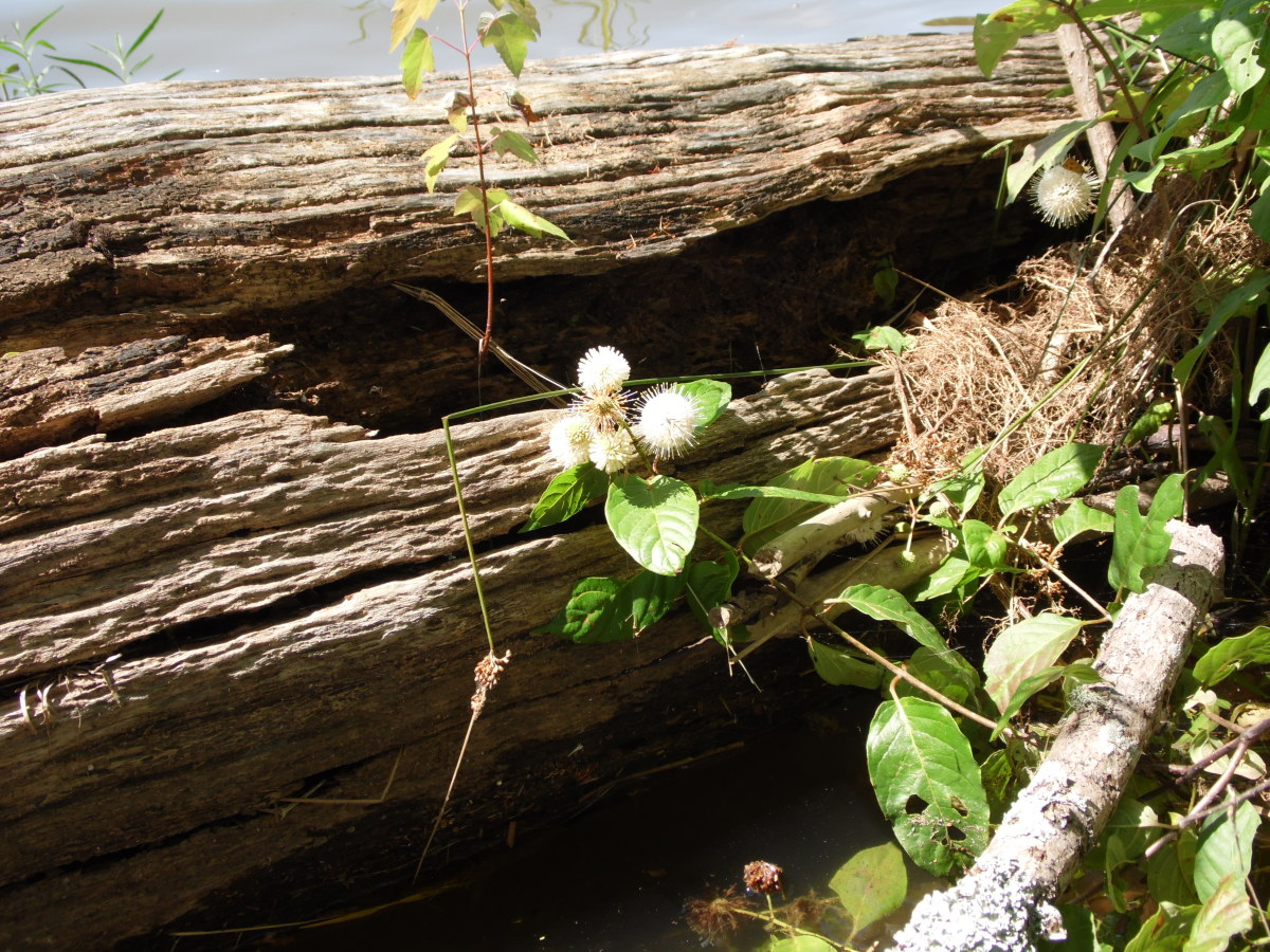 Floating log provides a home for other plants.