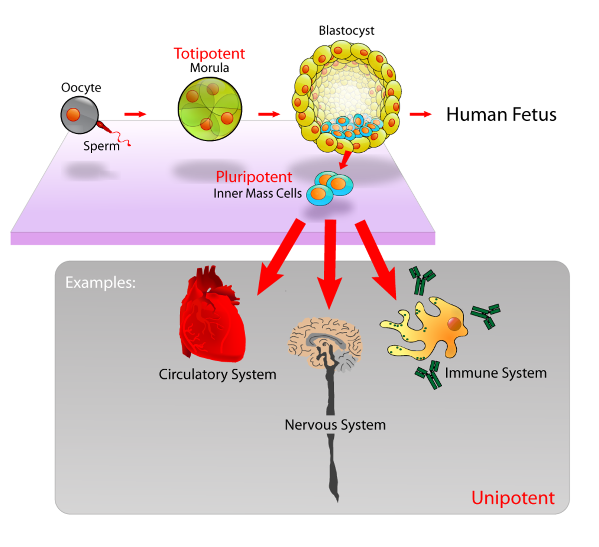 The blastocyst and its pluripotent stem cells
