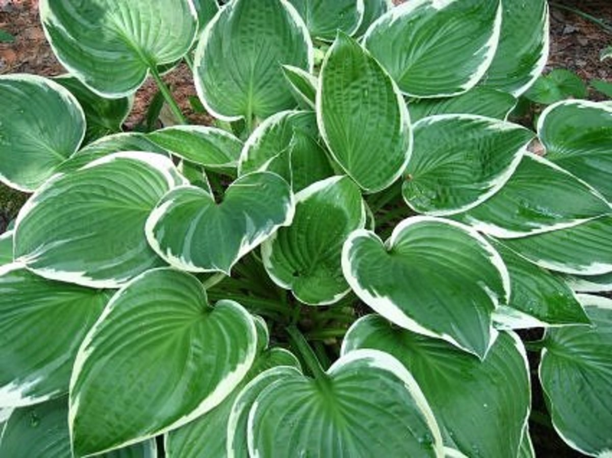 Hosta with white edges on the leaves. Hosta comes in many sizes and leaf colors. If you have a lot of deer in your woods, they might eat the hosta leaves. My neighbor has a problem, but they don't seem to venture far enough into my yard for the hosta
