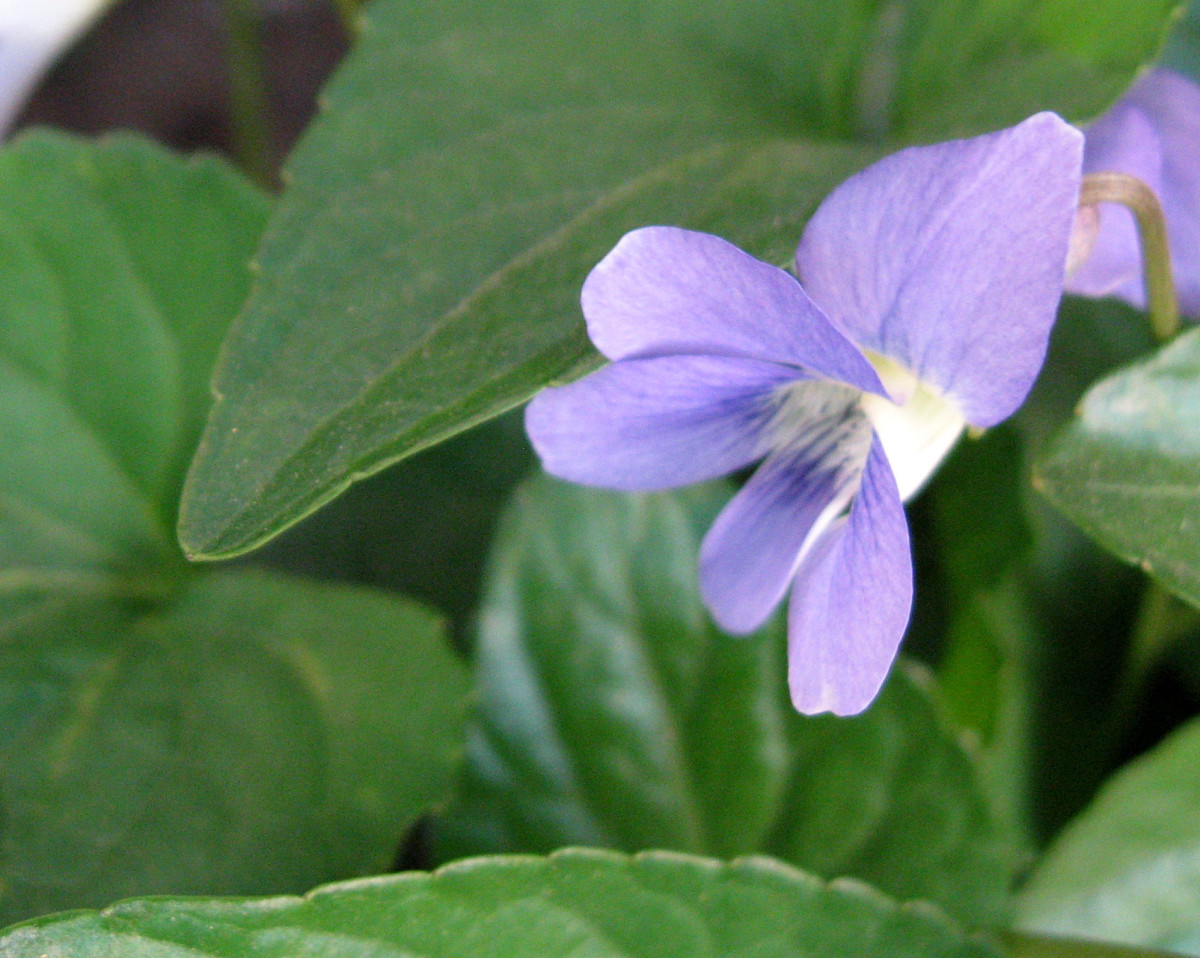A violet - these bloom in the early spring.