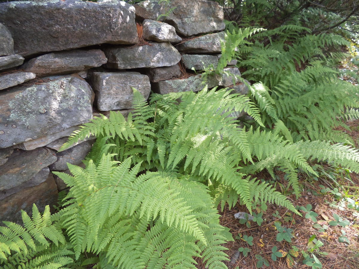 My friend Judy created this shady bower. The contrast of the texture of the stones with the lacy look of the ferns really appeals to me. This come back year-after-year so are easy to care for.