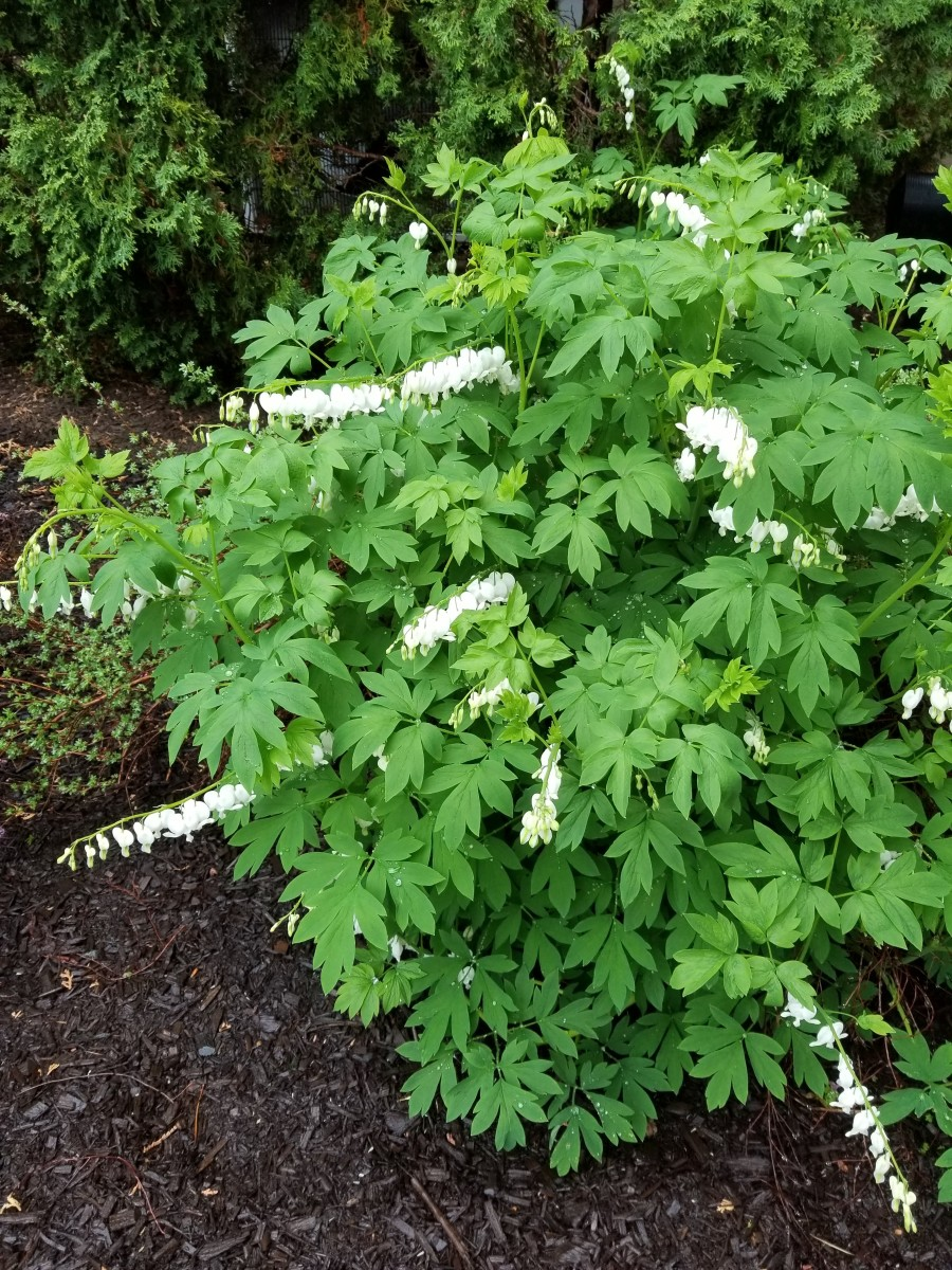 Dicentra or Bleeding Heart comes in pink or white. It will only grow in shade.