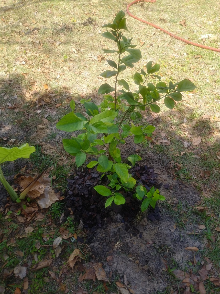 growing-a-lemon-tree-from-seeds-at-home