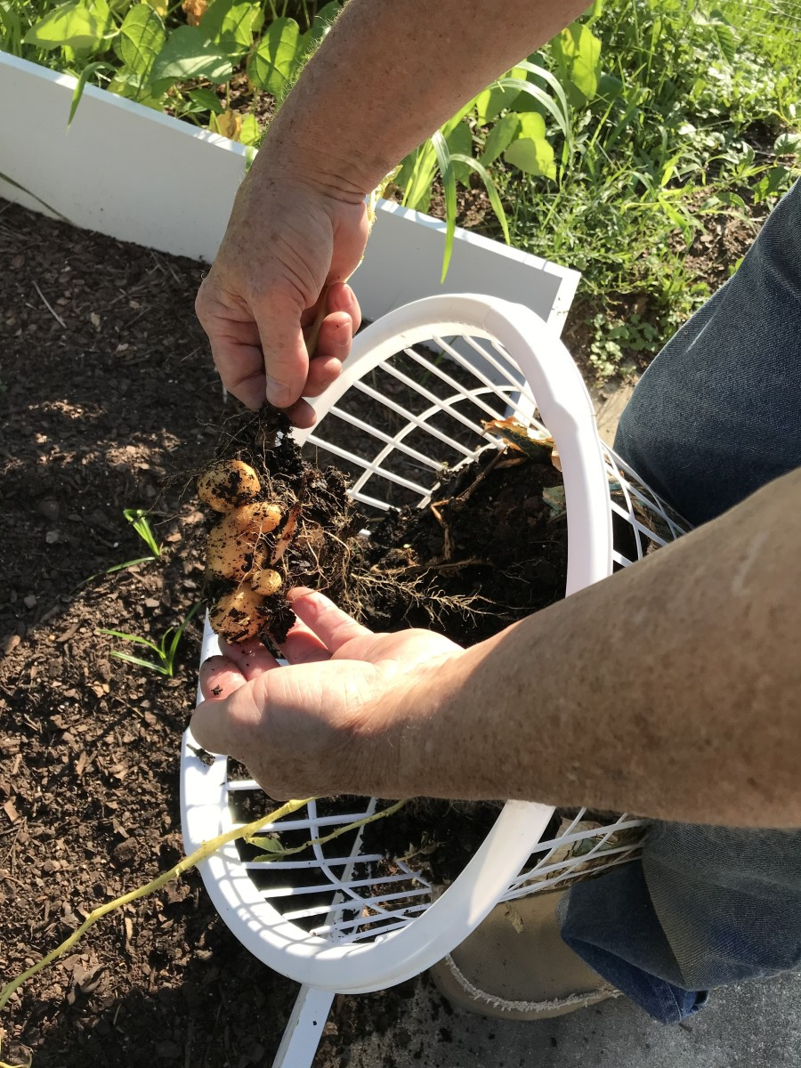 growing-potatoes-in-a-clothes-basket