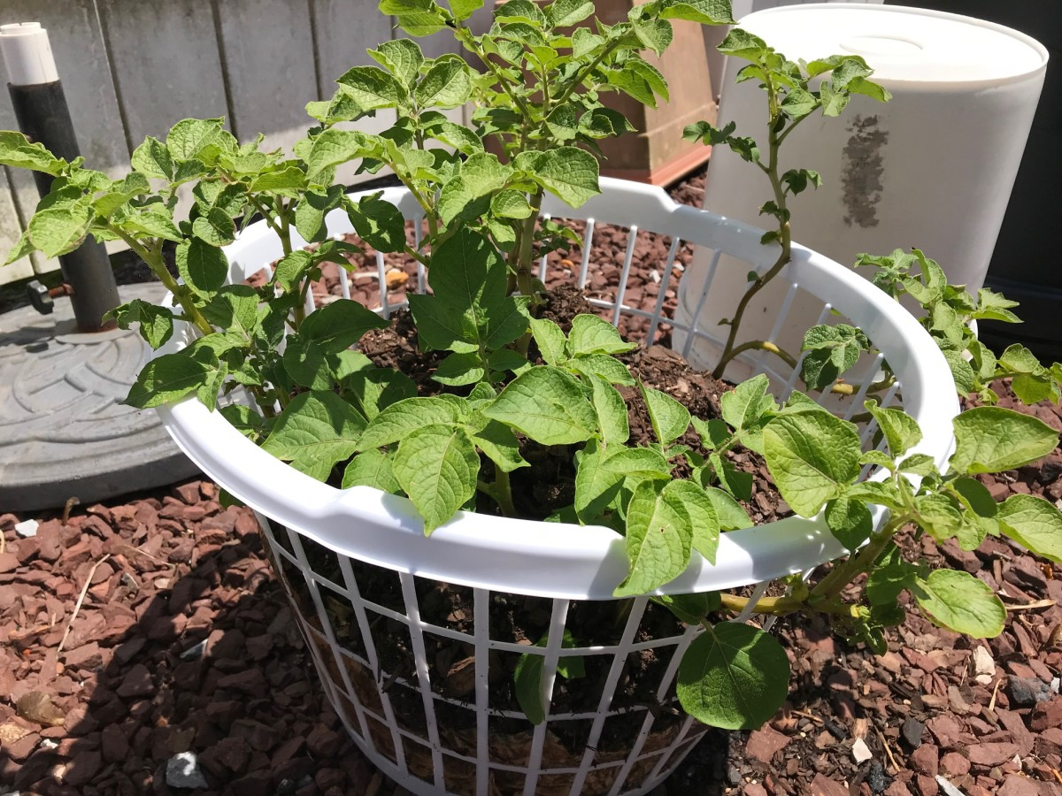 Growing Potatoes in a Clothes Basket