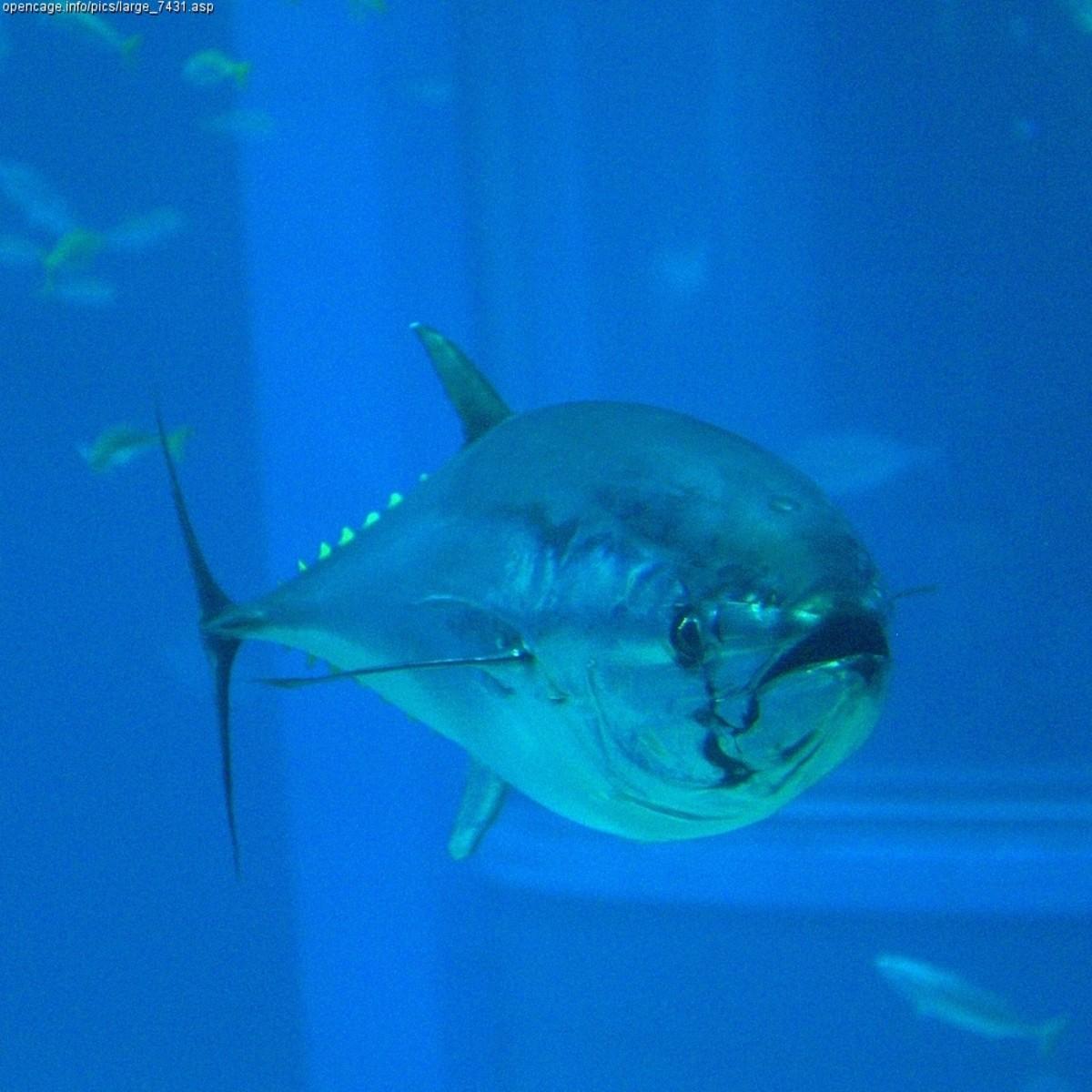 Bluefin Tune