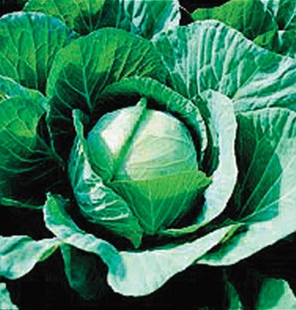 Cabbage is an easy plant to grow. The link source will take you to Amazon where you can buy the seeds.