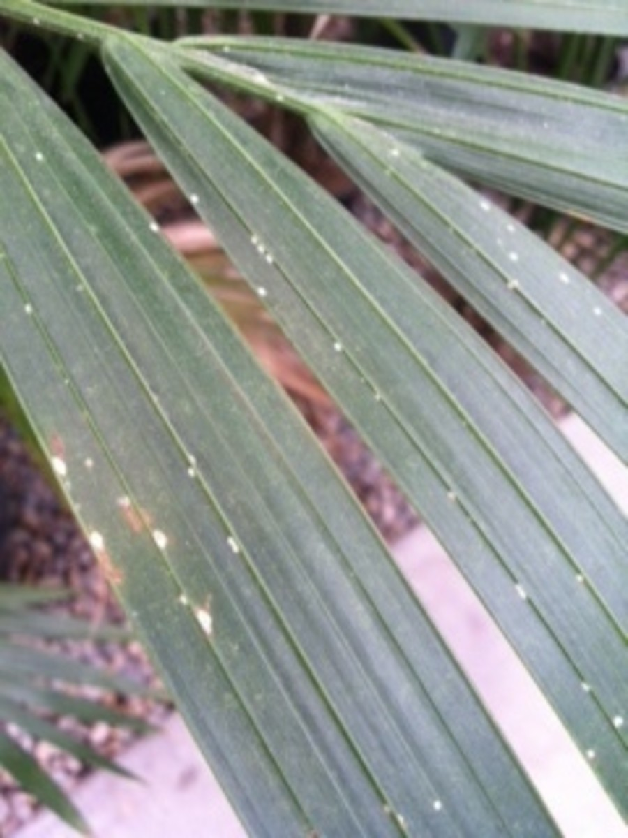 The tiny white specks seen, are soft scale insect bodies.