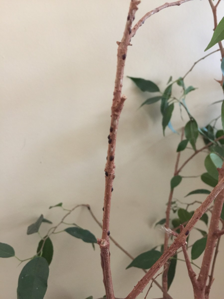 Sticky Residue on Houseplant You May Have Scale