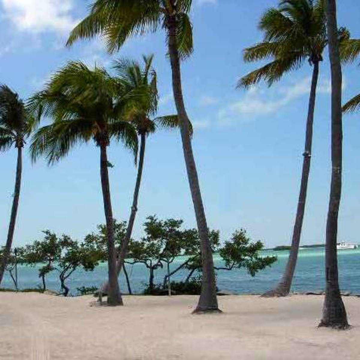 Coconut Palms on the beach in the Florida Keys