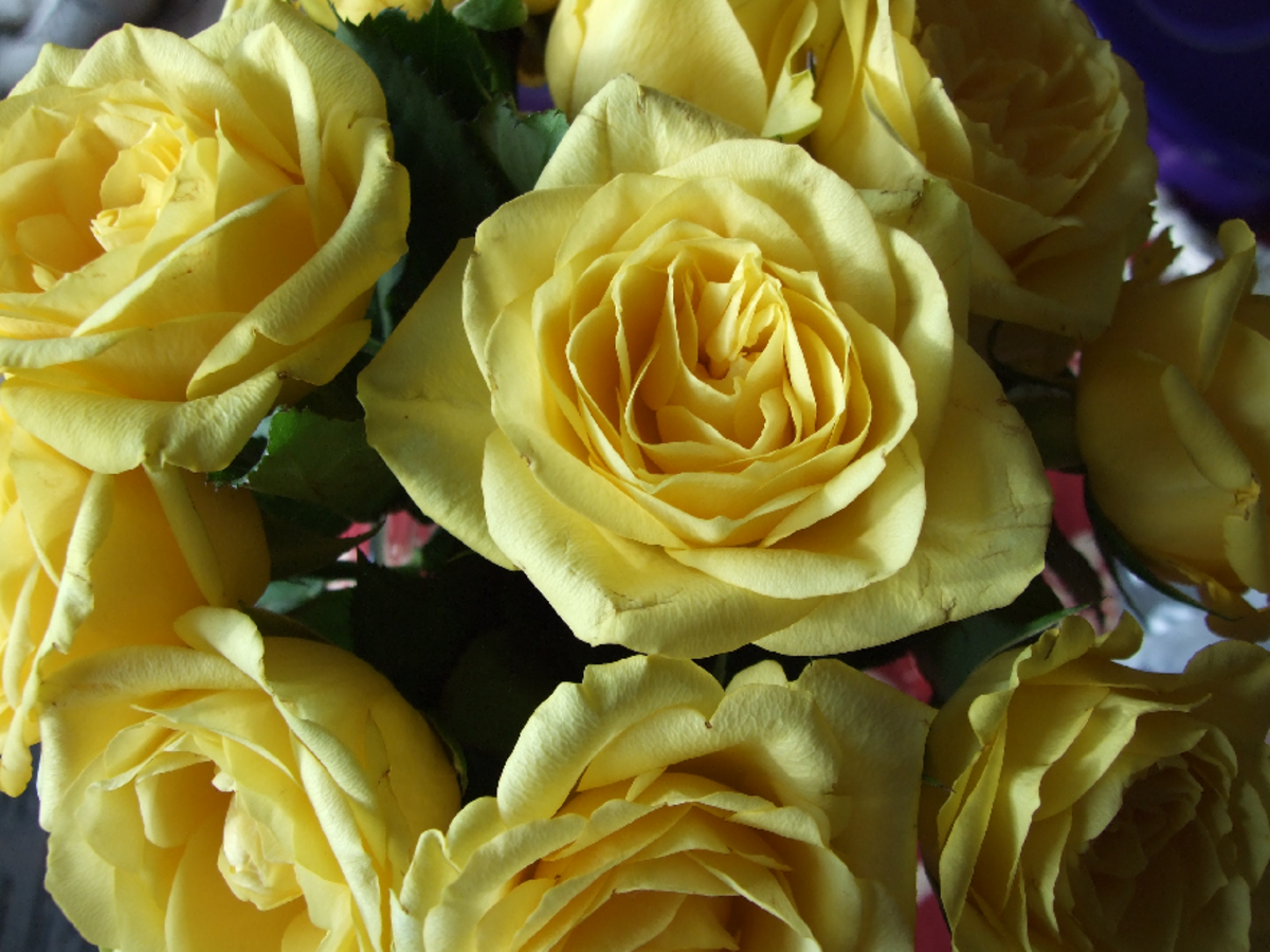 Yellow Roses Group Close-up Picture