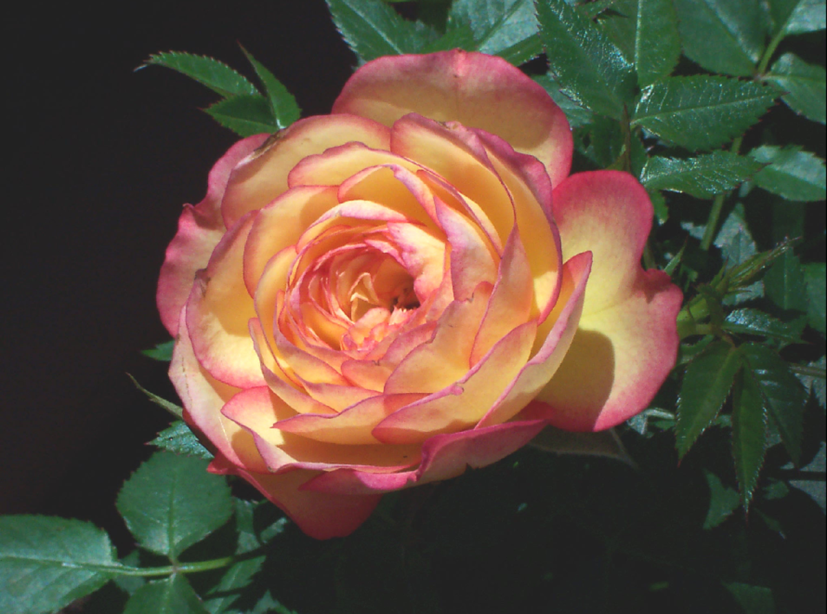 Pink and Orange Blush Rose Picture