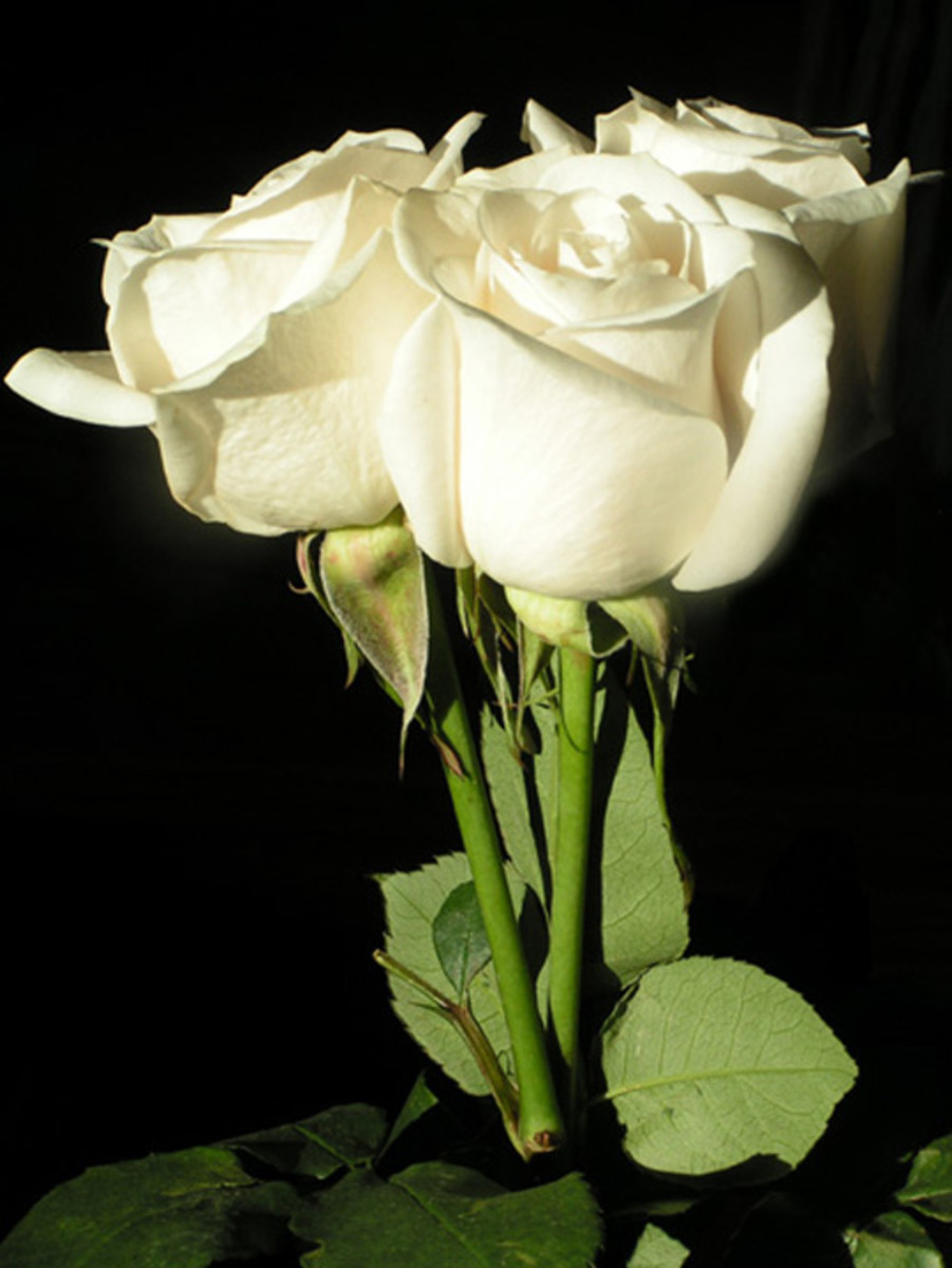 Three Long-stem White Roses Picture